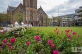 De bloemen in bloei op het Grote Kerkplein in Rotterdam met de Laurenskerk