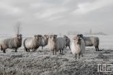 Schapen in de Polder van MS Fotografie bij VT Wonen weer Verliefd op je Huis